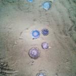 Quallen am Borkumer Strand